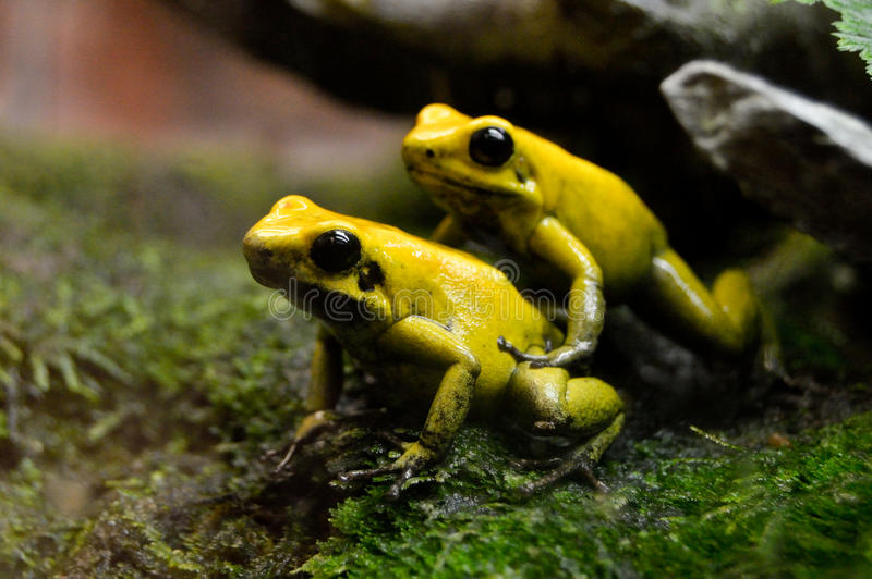 Pair of golden poison frogs royalty free stock photography