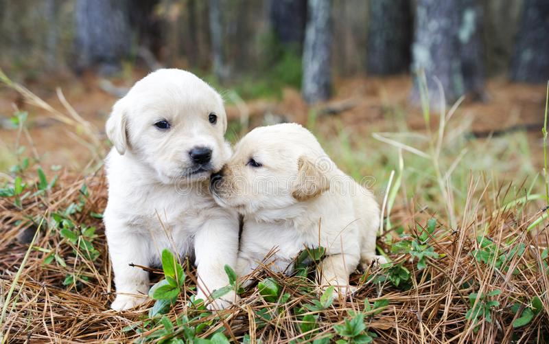 Pair of Golden Retriever Puppies. Two cute not weaned male and female baby Golden Retriever pups. Outdoor pet adoption photography for Walton County Animal royalty free stock image