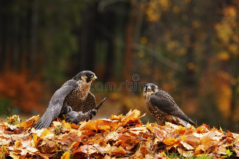 Pair of Goshawk, Accipiter gentilis, feeding on killed pidgeon in the forest stock photography