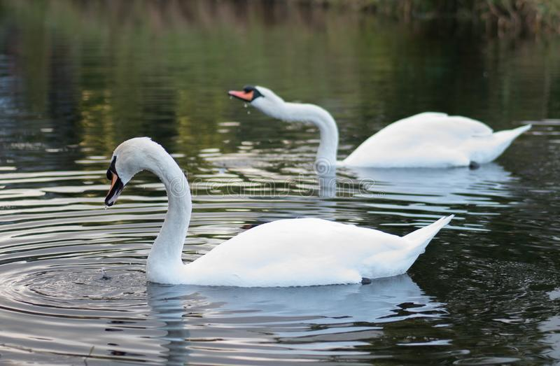 A pair of graceful white mute swans on the lake. Shallow depth of field. A pair of graceful white mute swans on the lake in summer with reflections on the water stock images