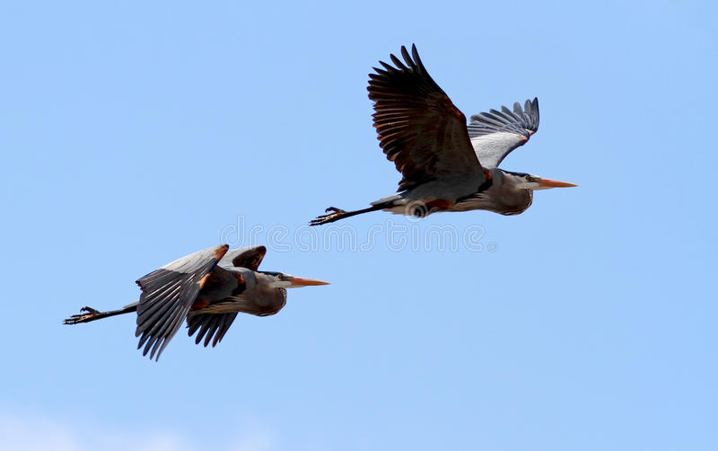 Download Pair of Great Blue Heron stock photo. Image of esquimalt - 19304974