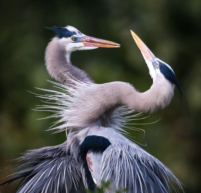 Pair of Great Blue Herons in mating behavior. In FL royalty free stock photo