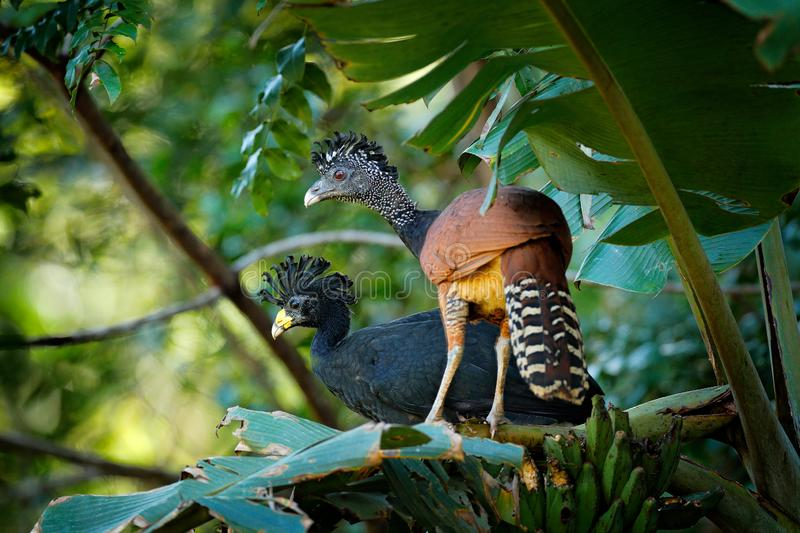 Pair of Great curassow, Crax rubra, in the nature forest habitat, birds sitting on the palm leave in green vegetation. Curassow. From Costa Rica. Two animals in stock photos