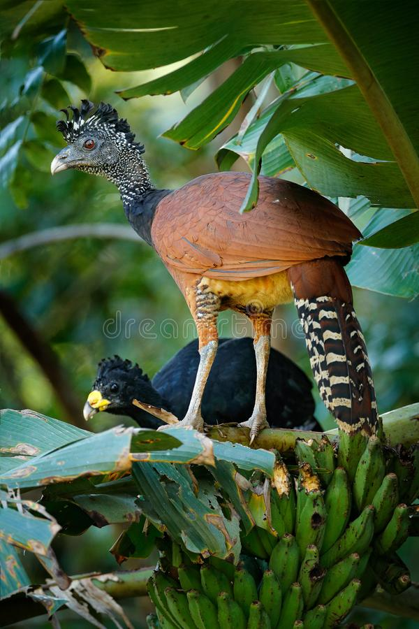 Pair of Great curassow, Crax rubra, in the nature forest habitat, birds sitting on the palm leave in green vegetation. Curassow. From Costa Rica. Two animals in stock photography