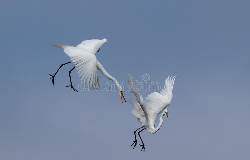 A pair of Great Egrets battling in the air royalty free stock image