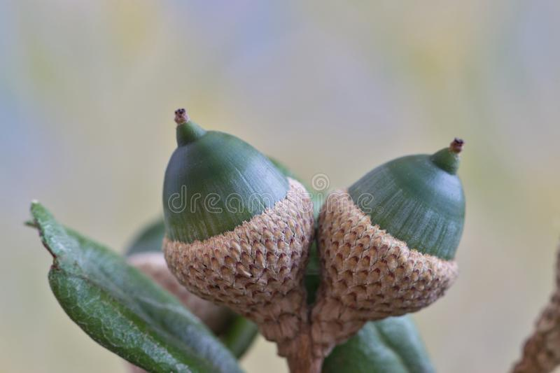 A pair of green acorns in a tree. royalty free stock photos