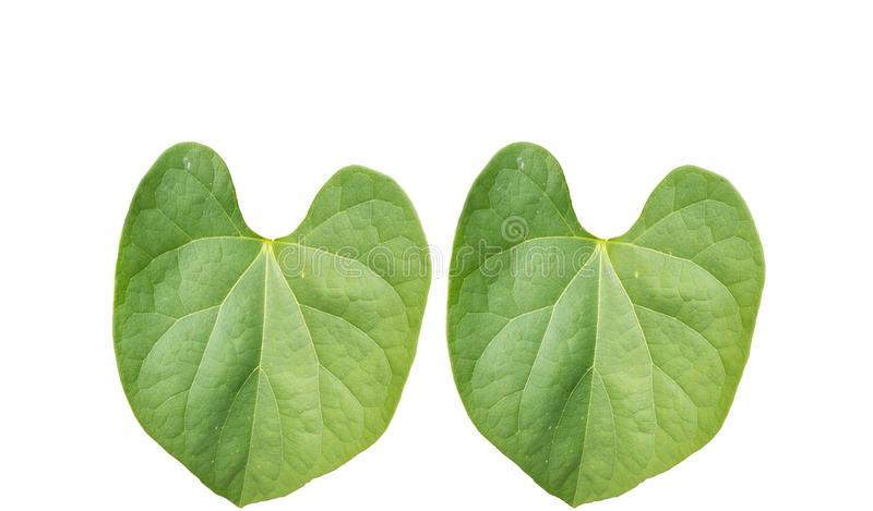 Pair of Green foliage tropical leaf isolated on white backgrouds stock photos
