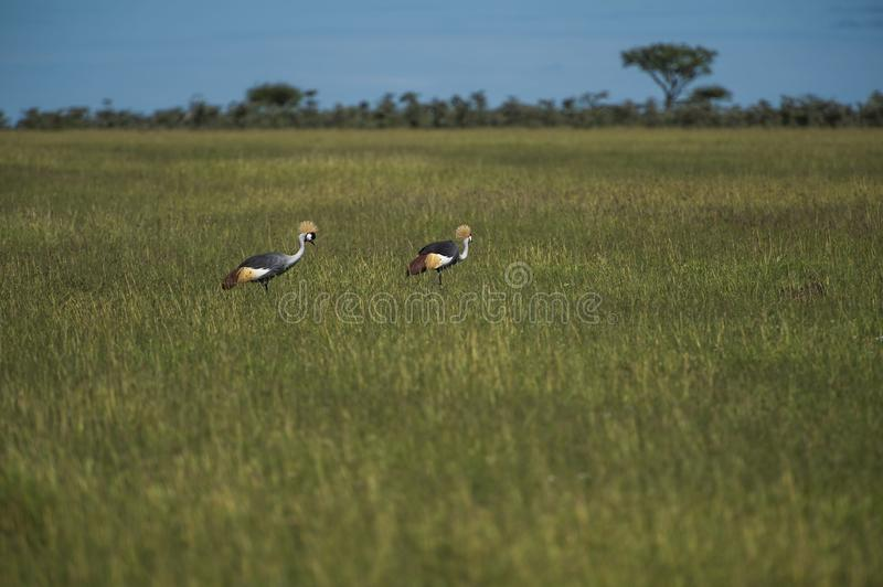 Pair of grey crowned crane or  Balearica regulorum, standing in green pasture stock images