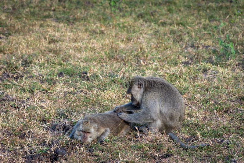 A pair of grey monkey are helping each other on Savanna Bekol, Baluran. Baluran National Park is a forest preservation area that. Extends about 25.000 ha on stock photos