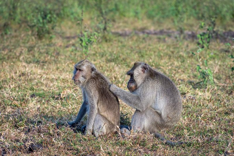 A pair of grey monkey are helping each other on Savanna Bekol, Baluran. Baluran National Park is a forest preservation area that. Extends about 25.000 ha on stock image
