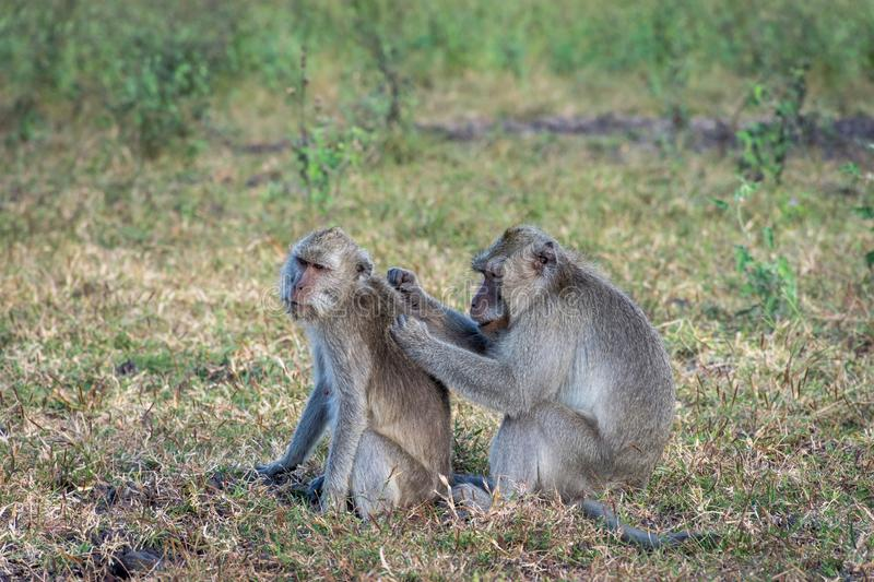 A pair of grey monkey are helping each other on Savanna Bekol, Baluran. Baluran National Park is a forest preservation area that. Extends about 25.000 ha on royalty free stock photo