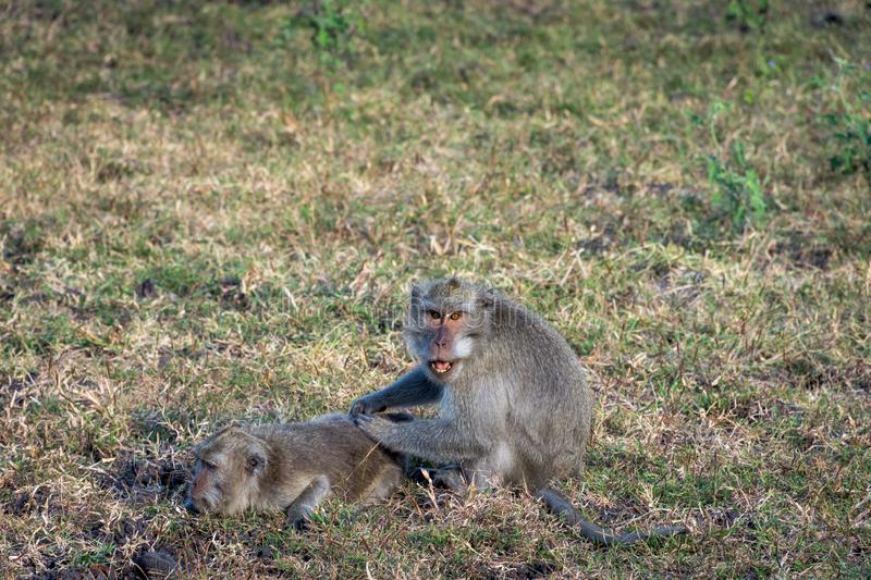 A pair of grey monkey are helping each other on Savanna Bekol, Baluran. Baluran National Park is a forest preservation area that. Extends about 25.000 ha on stock photo