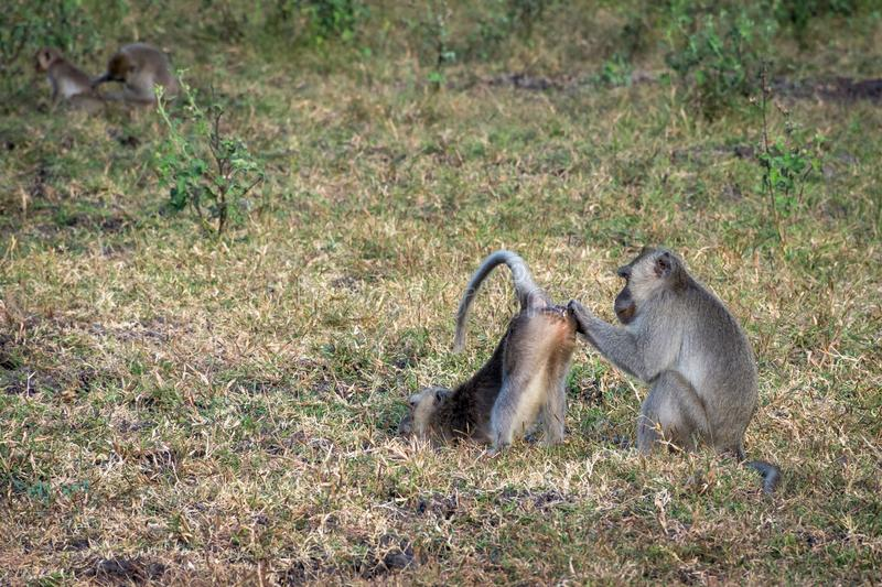 A pair of grey monkey are helping each other on Savanna Bekol, Baluran. Baluran National Park is a forest preservation area that. Extends about 25.000 ha on stock photography