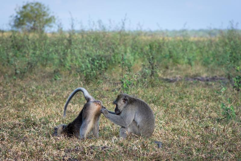 A pair of grey monkey are helping each other on Savanna Bekol, Baluran. Baluran National Park is a forest preservation area that. Extends about 25.000 ha on royalty free stock photography