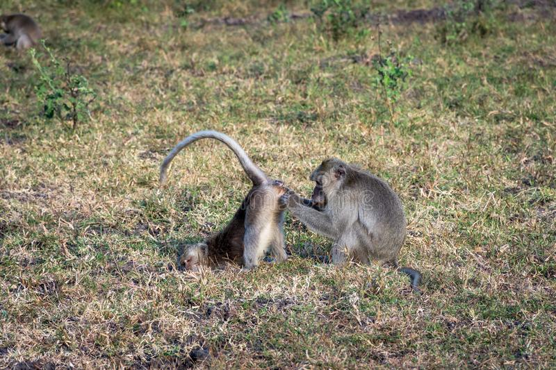 A pair of grey monkey are helping each other on Savanna Bekol, Baluran. Baluran National Park is a forest preservation area that. Extends about 25.000 ha on royalty free stock images