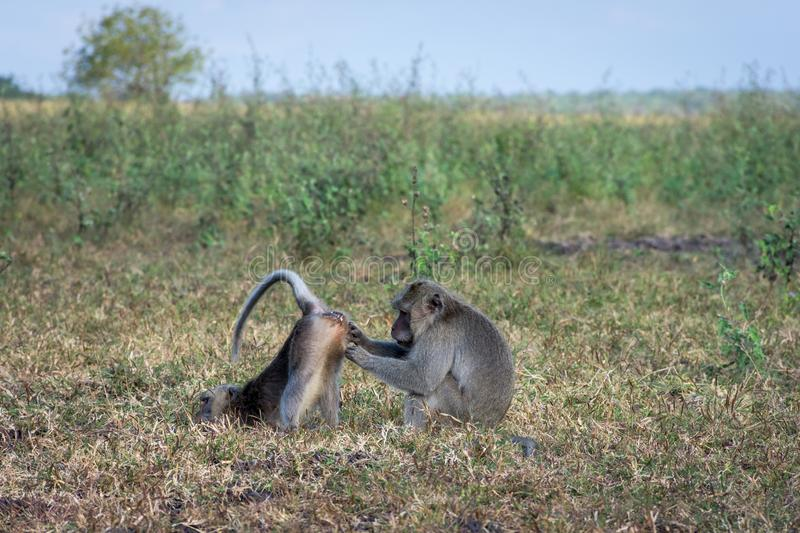A pair of grey monkey are helping each other on Savanna Bekol, Baluran. Baluran National Park is a forest preservation area that. Extends about 25.000 ha on stock images