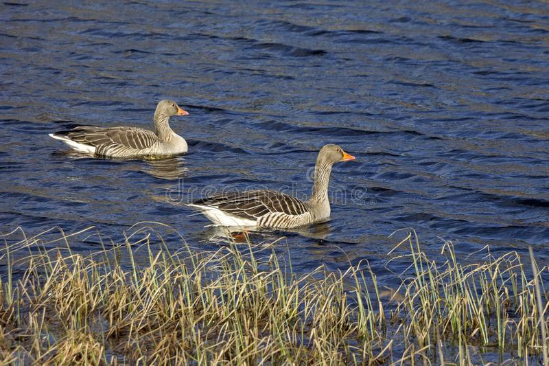 Pair of greylag geese swimming on a small lake. Seen in southern Sweden stock image