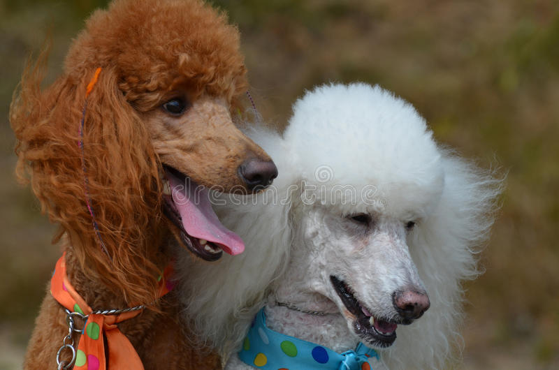 Pair of Groomed Standard Poodles stock photography
