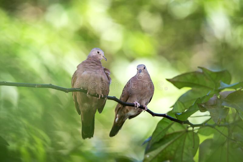A pair of Ground Doves cuddle in the early morning light on branch in garden, clear green background. Exotic adventure in Caribbean nature, pidgean on tree stock photo