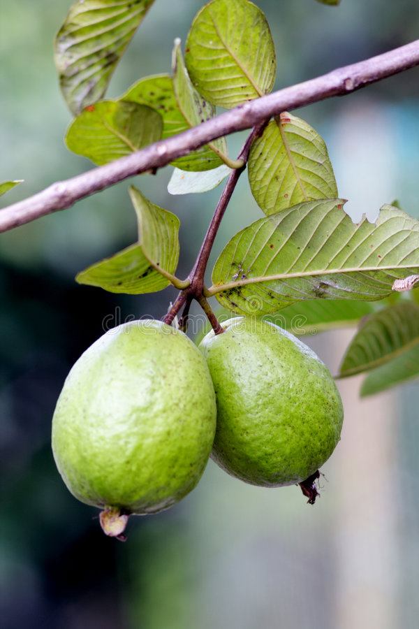 A pair of guava stock photo