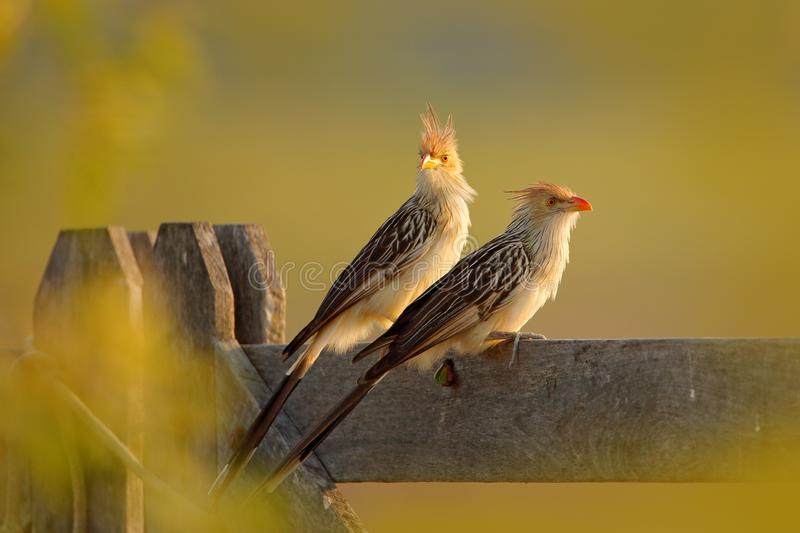 Pair Guira cuckoo, Guira guira, in nature habitat, bird sitting in perch, grey bird, Mato Grosso, Pantanal, Brazil. Evening light. Cuckoo from Brazil, green royalty free stock images