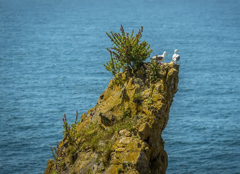 A pair of gulls use a rocky promontory as a vantage point on the Pembrokeshire coast, Wales royalty free stock photography