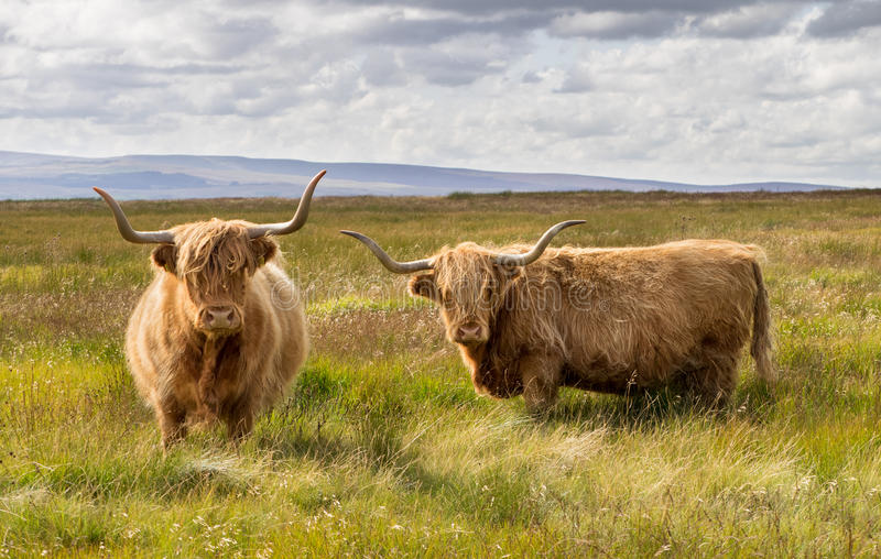 Pair of Highland Cattle. In field in the Yorkshire Dales stock images