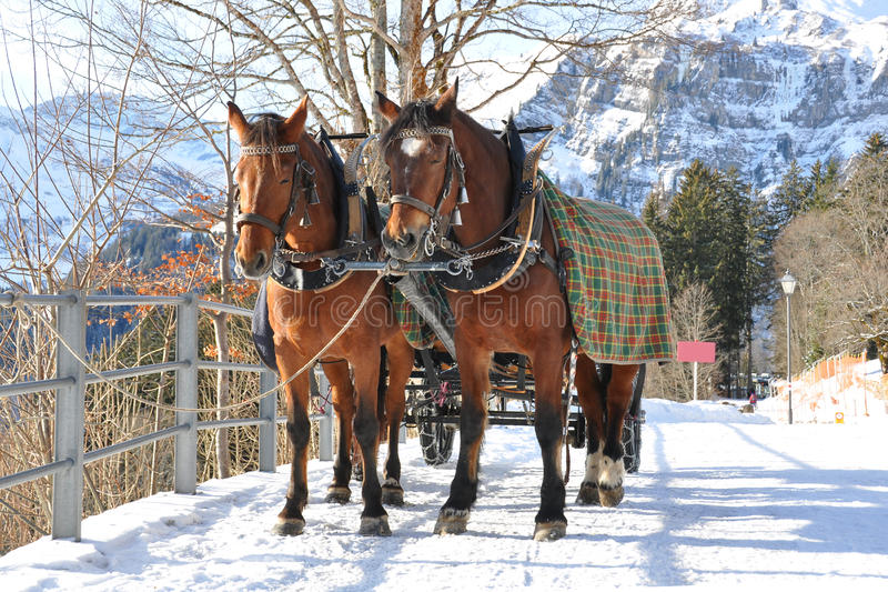 Download Pair of horses stock image. Image of braunwald, dray - 12667003
