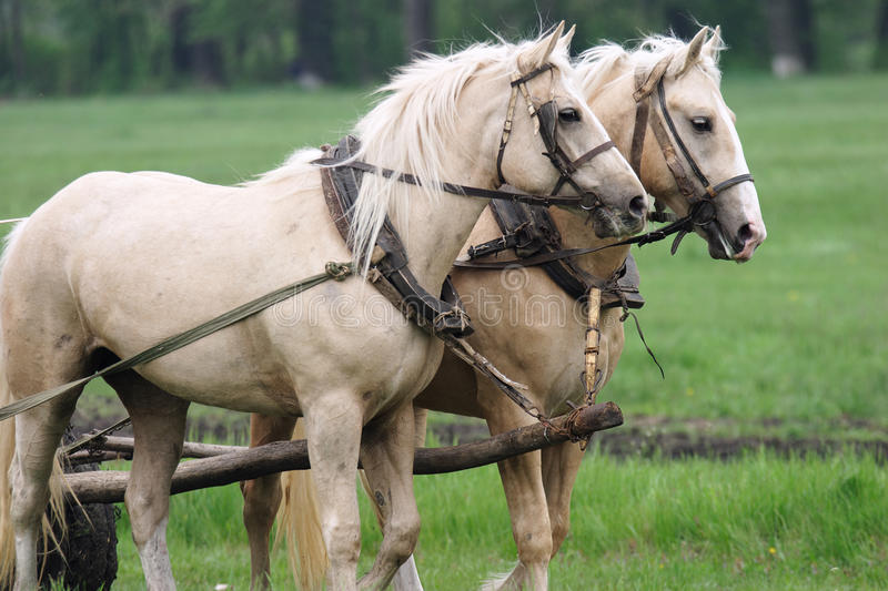 Pair of horses stock photography