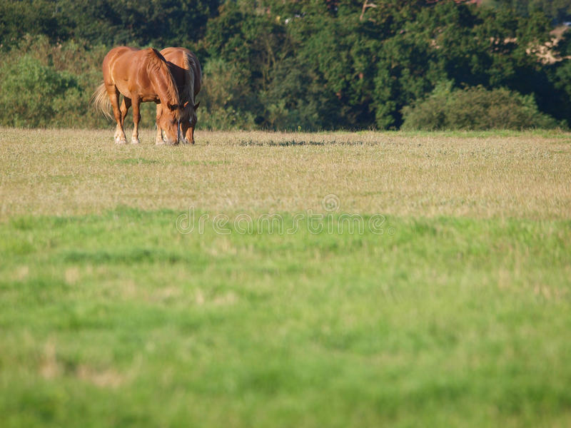 A pair of horses grazing. A group of horses grazing in a paddock stock image