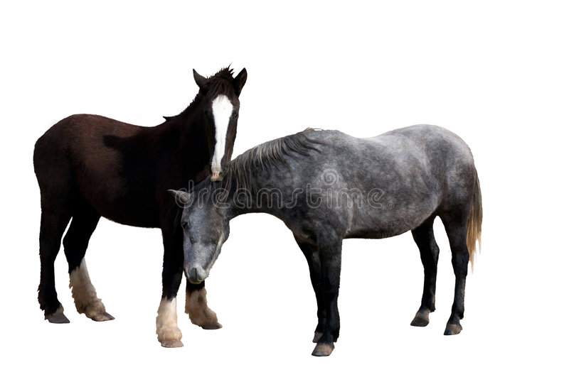 Pair Of Horses Isolated royalty free stock photography