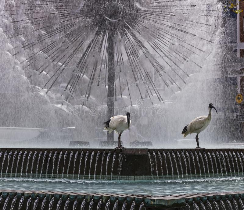 Pair of ibis birds with the beautiful El Alamein Memorial fountain in the background, Kings Cross, Sydney, Australia. Oceania royalty free stock image