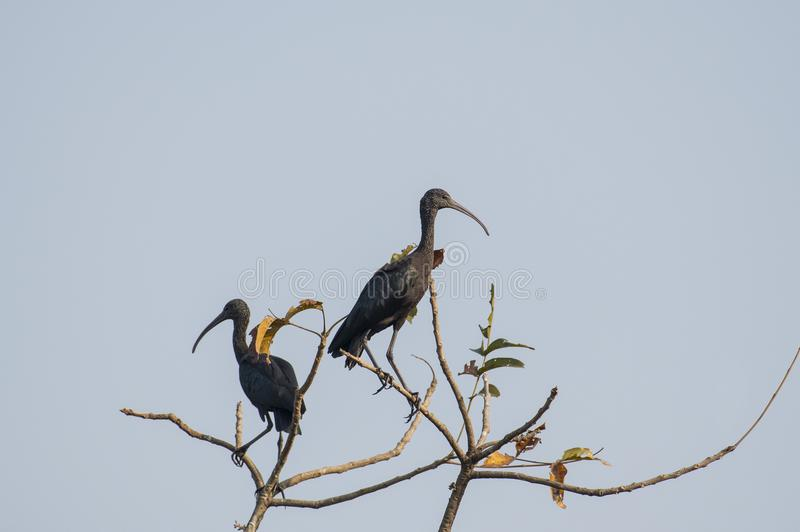 Pair of immature glossy ibis sitting on tree top. The glossy ibis is a wading bird in the ibis family,with its long, slender, down-curved bill and magnificent stock image