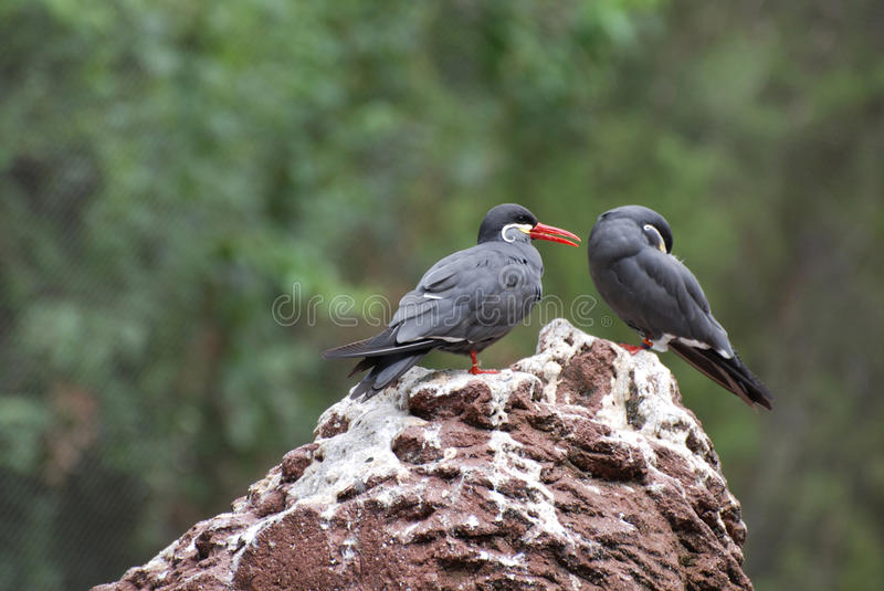 Pair of Inca Terns Standing on a Rock. Pair of Inca terns standing together on a rock royalty free stock images