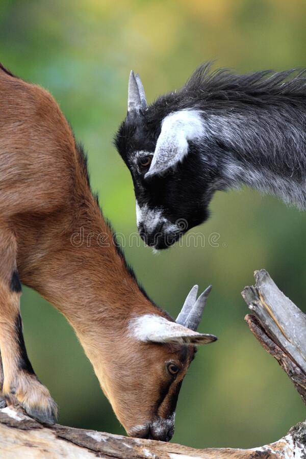 Pair of juvenile African Pygmy goats in zoological garden stock images