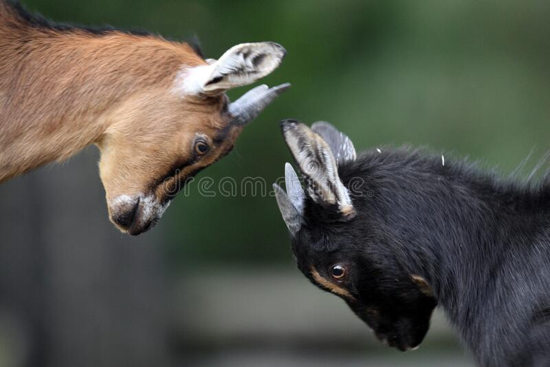 Pair of juvenile African Pygmy goats in zoological garden royalty free stock photography