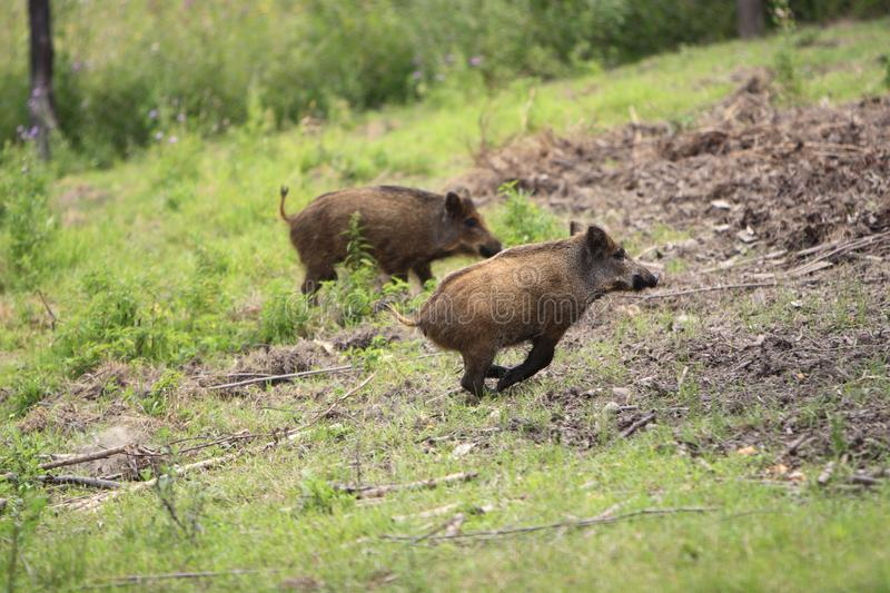 Group of juvenile Wild boars in a forest during summer period royalty free stock photography