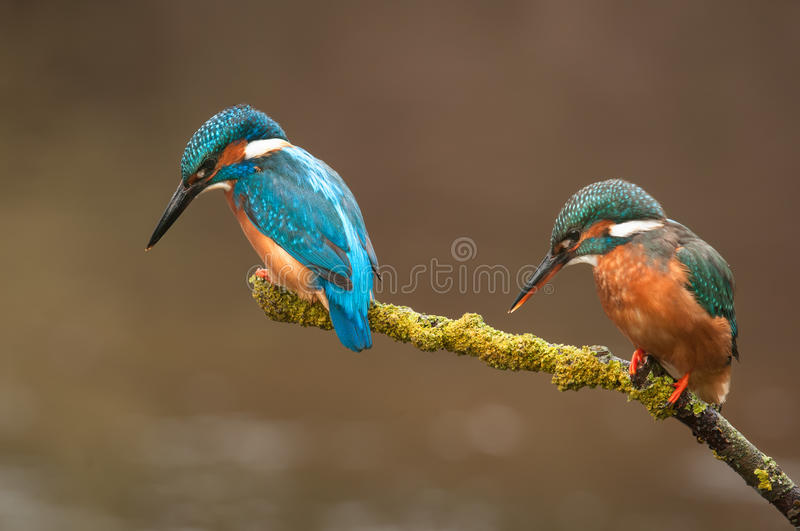 Download Pair of Kingfisher stock photo. Image of hunter, eater - 31394844