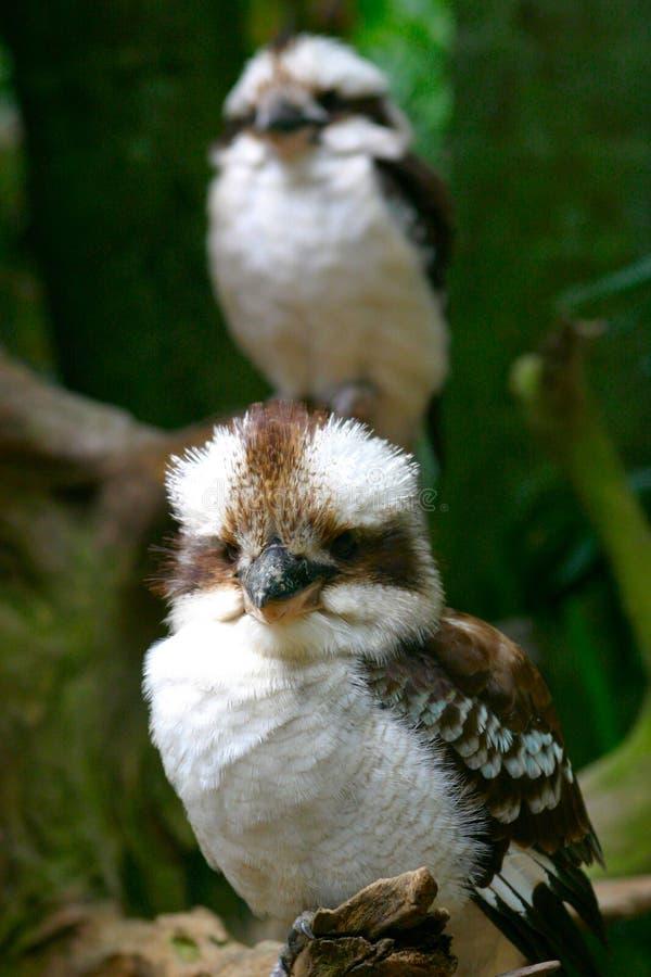 Pair Of Kookaburras royalty free stock images