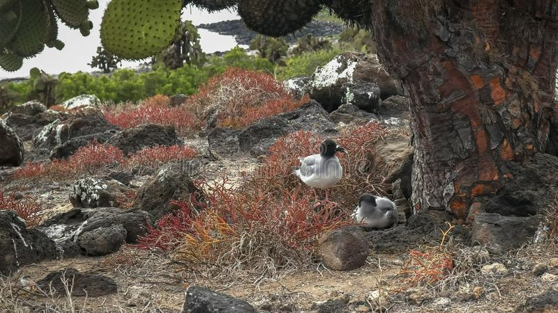 A pair of lava gulls nesting under a large opuntia cactus on isla south plazas. A pair of lava gulls nest under a large opuntia cactus on isla south plazas in stock image