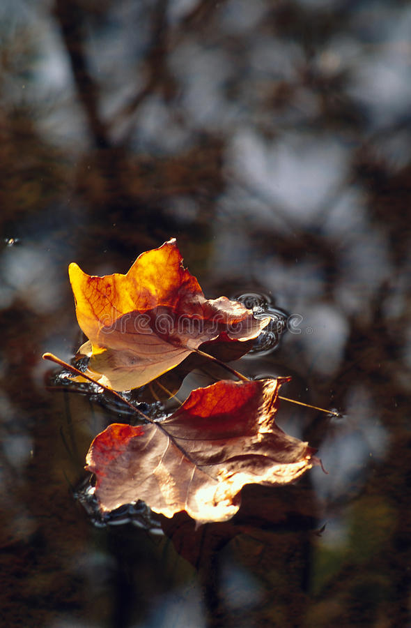 Download Pair Of Leaves Floating On Water Stock Image - Image: 28946271