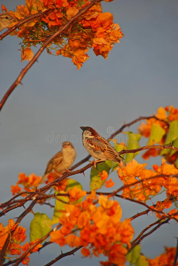 A pair of light brown sparrows resting on the twigs of a large Bougainvillea tree. These small birds are very common and can be found almost everywhere in the stock images