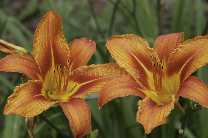 Download A pair of lillies stock photo. Image of calgary, garden - 25912048