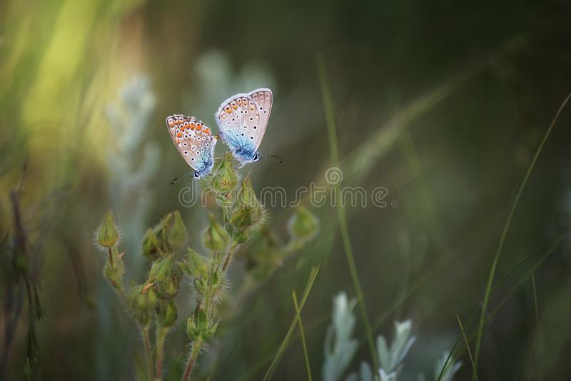 A pair of little butterflies makes love on a flower. stock image