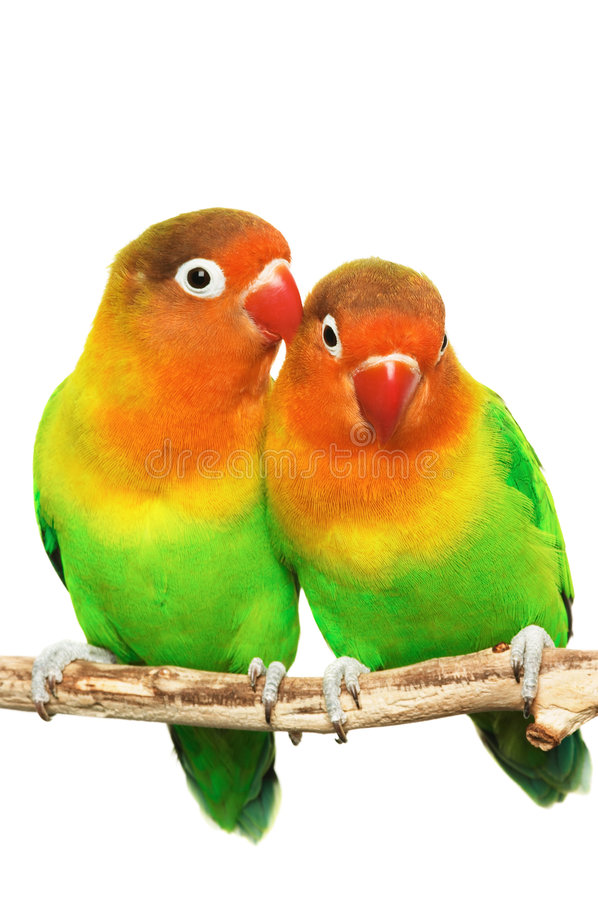 Download Pair of little lovebirds stock image. Image of color, colorful - 3059189