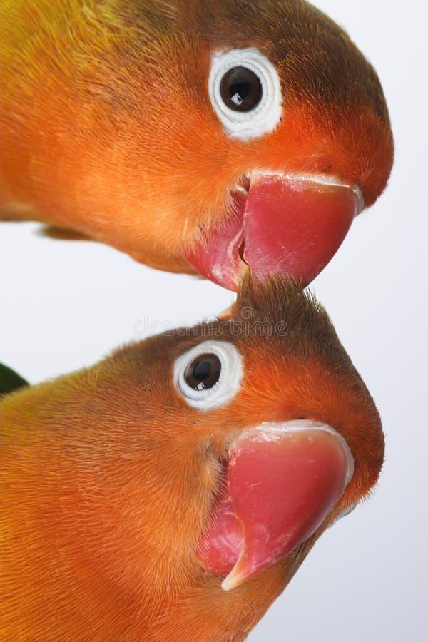 Pair of little parrots stock image