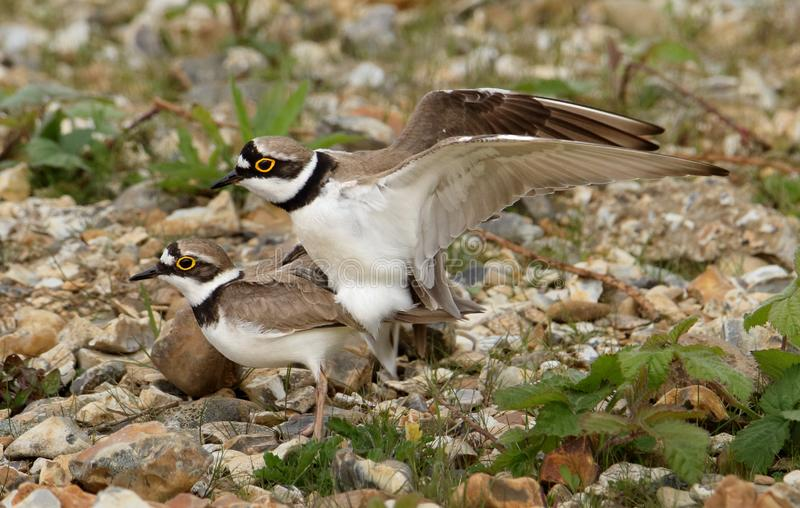 Pair Of Little Ringed Plovers Mating royalty free stock image