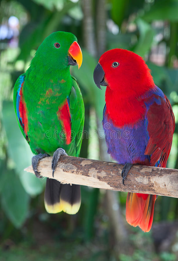 Pair of lori parrots royalty free stock image