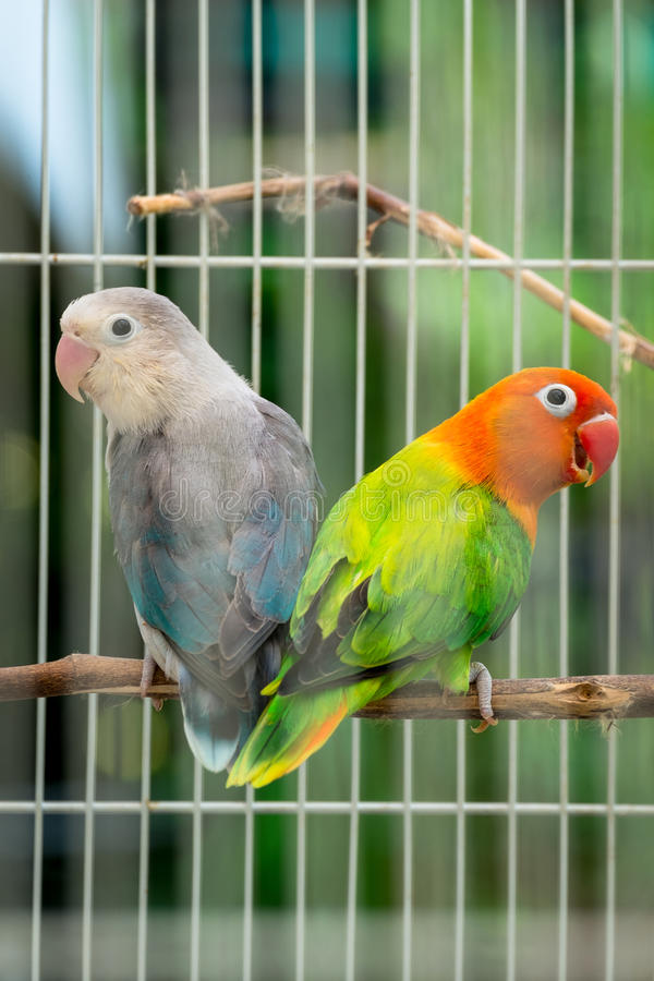 Pair of lovebird couple in the cage royalty free stock photo