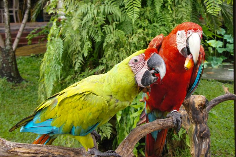 Pair of lovely blue-and-yellow macaw parrot birds Ara ararauna known as the blue-and-gold macaw sitting together royalty free stock photography